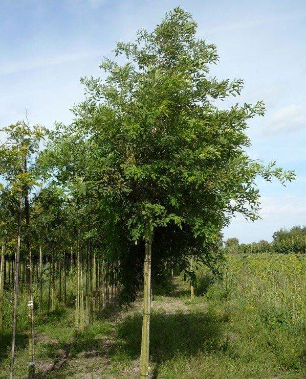 Robinia pseudoacacia 'Unifoliola'