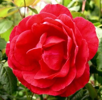 Rosa 'Paul's Scarlet'