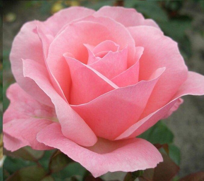 Rozenstruik roze