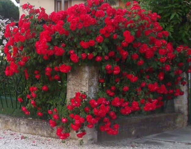 Rosa 'Paul Scarlet'