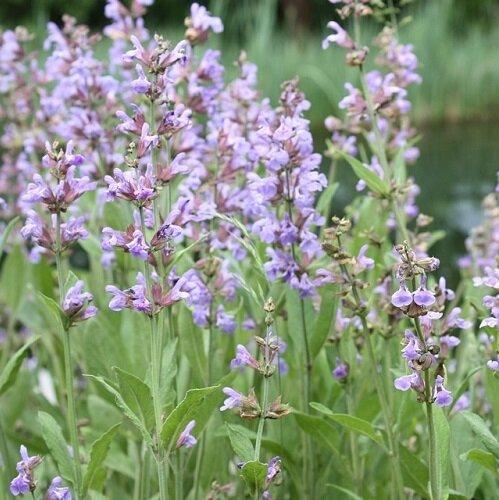 Salie (Salvia officinalis)