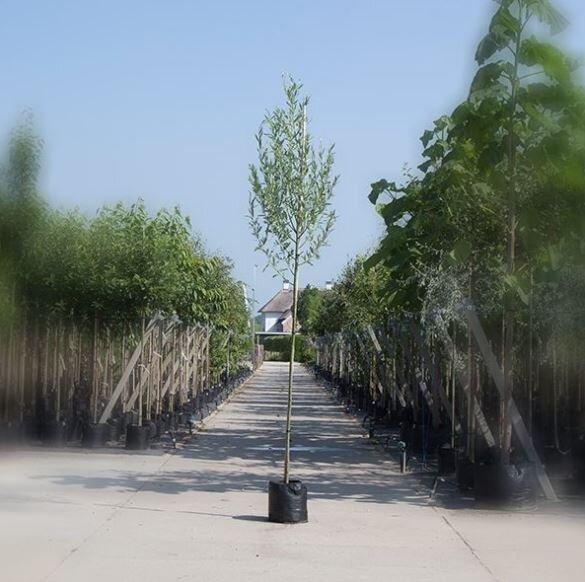 Salix alba | Witte Wilg