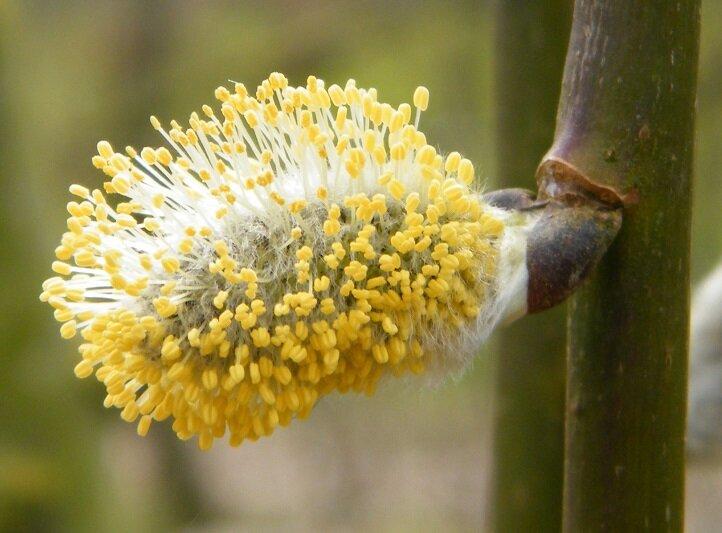 Salix Caprea 'Kilmarnock' katje in bloei