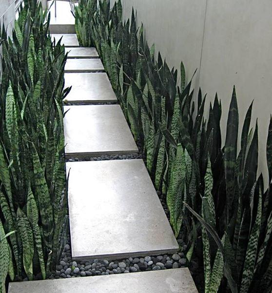Sanseveria  'Zeylanica' op kantoor