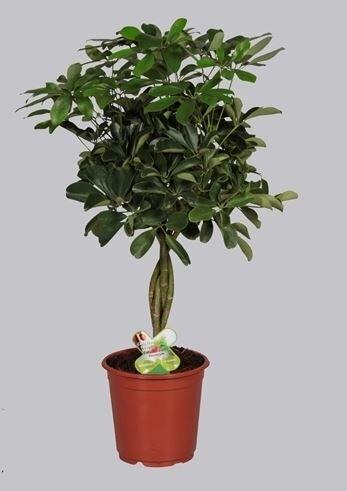 Schefflera compacta 'Nora' op vlechtstam