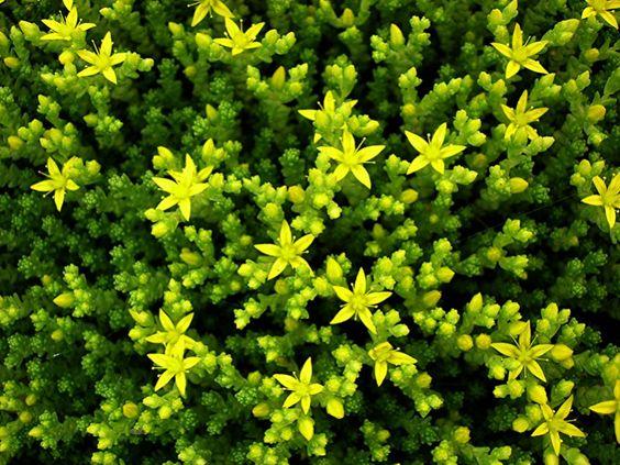 Sedum acre 'Elegans' bloemen