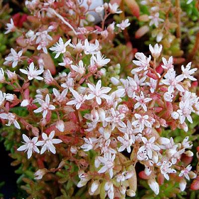 Sedum album 'Coral Carpet' bloemen