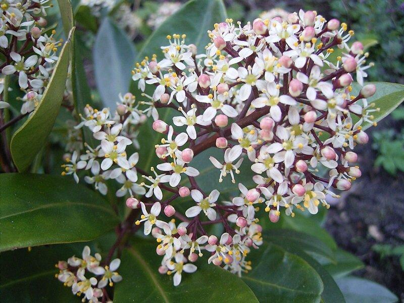 Skimmia japonica 'Rubella' bloemen