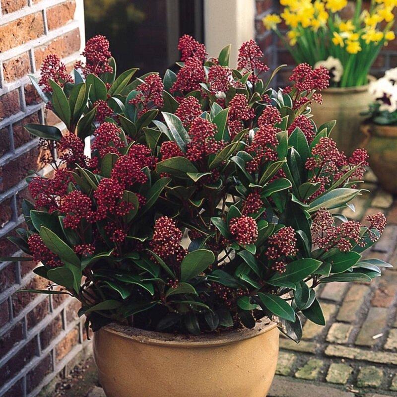 Skimmia japonica 'Rubella' in pot