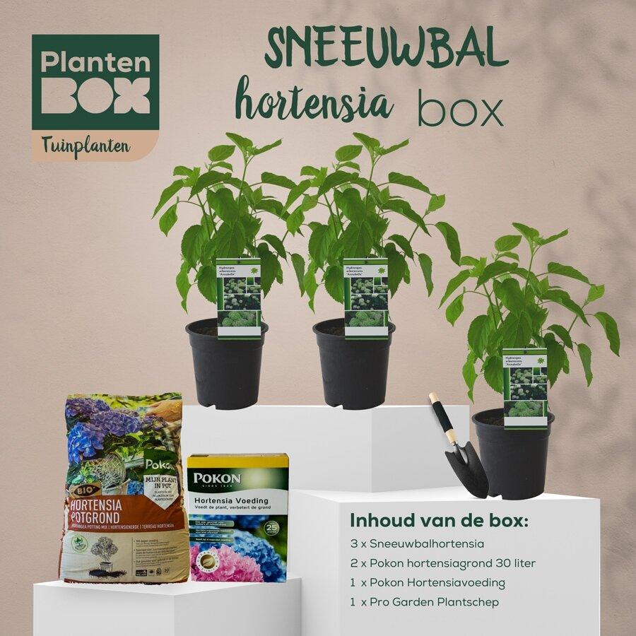 Sneeuwbal hortensiabox