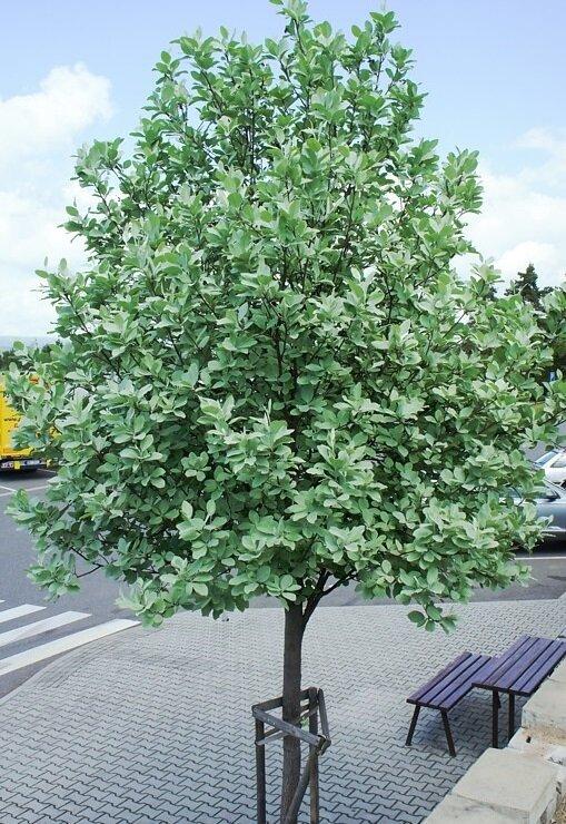 Sorbus aria 'Lutescens'