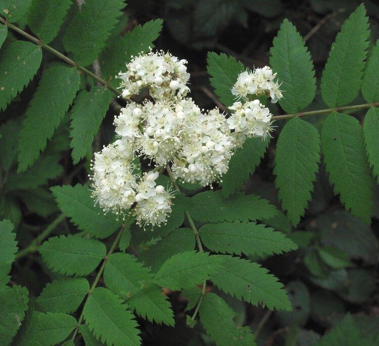 Sorbus aucuparia bloemen
