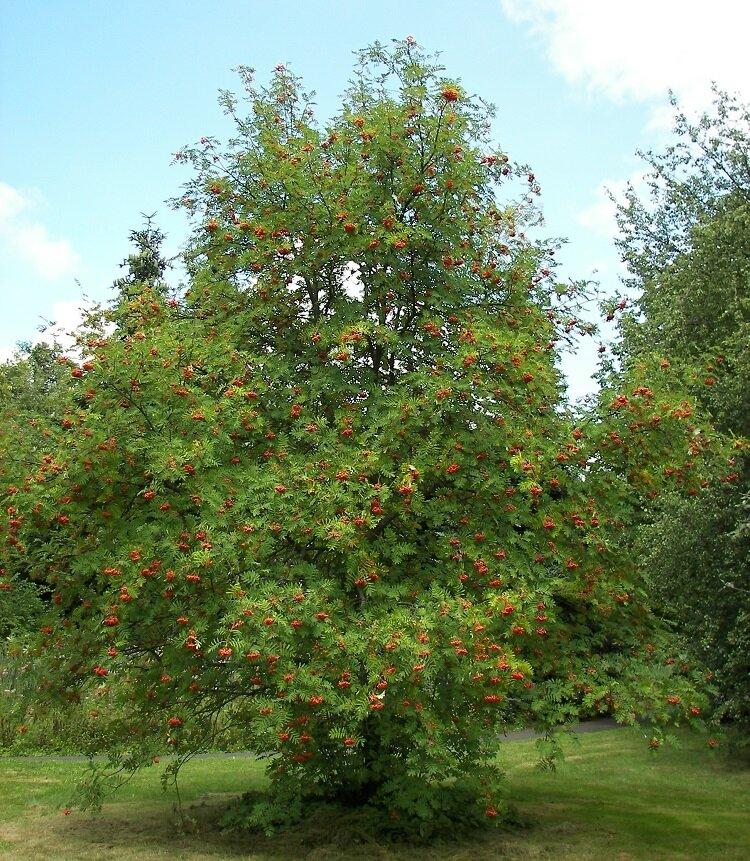 Sorbus aucuparia (Lijsterbes)