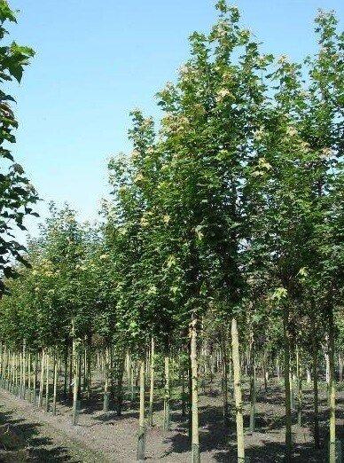 Sorbus intermedia 'Brouwers'