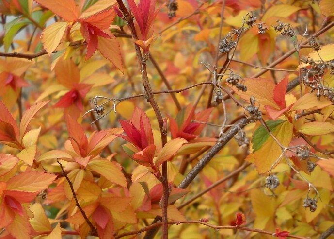 Spiraea japonica 'Anthony Waterer' blad herfst