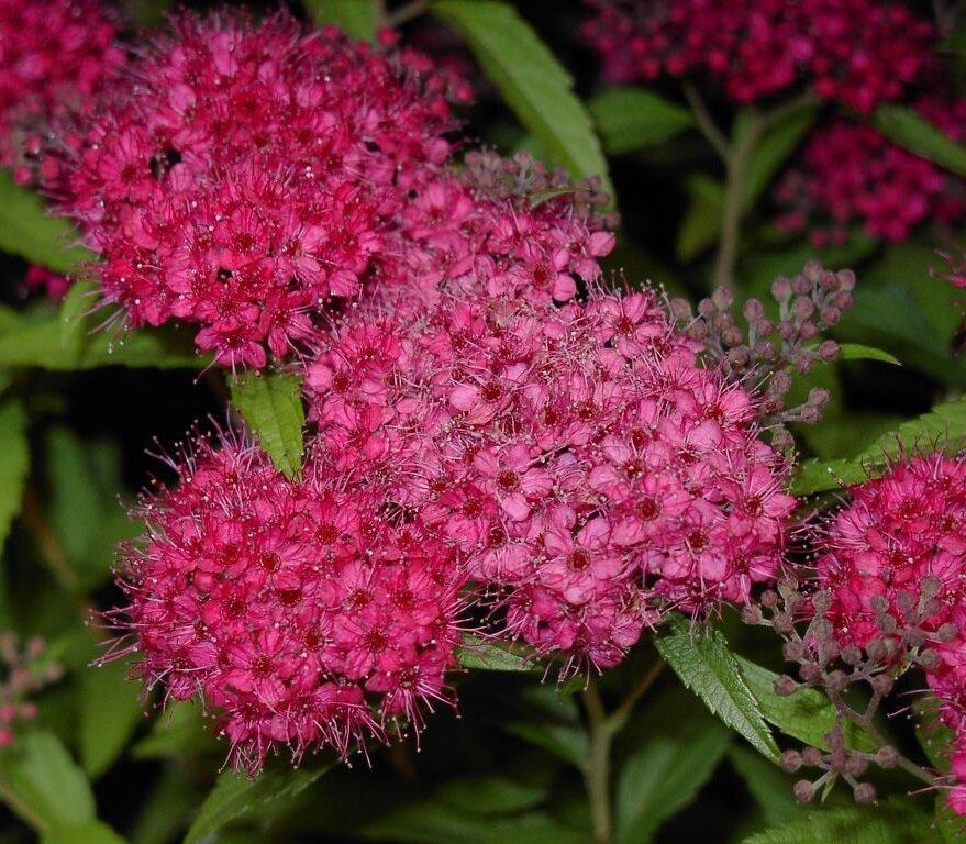 Spiraea japonica 'Anthony Waterer' bloemen