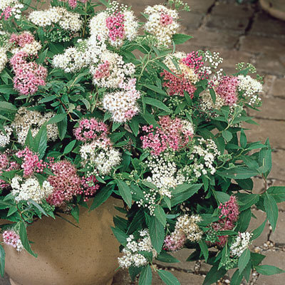 Spiraea japonica 'Genpei' in pot