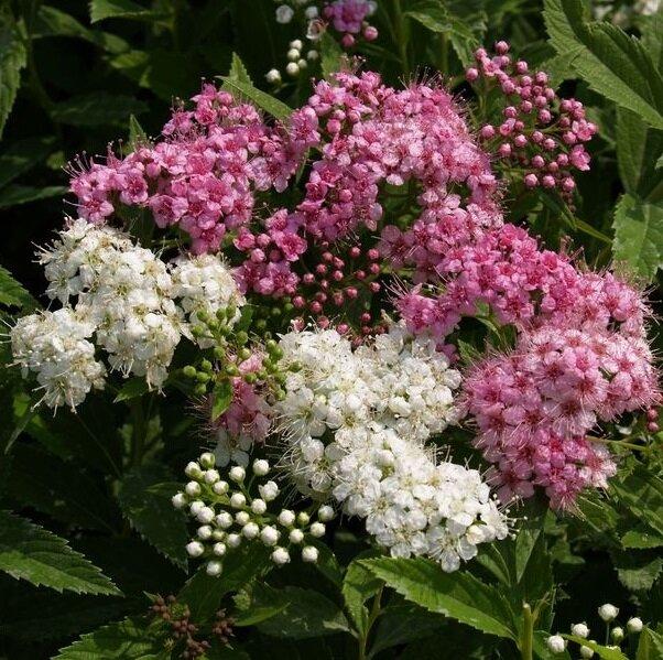 Spiraea japonica 'Genpei' tweekleurige bloei