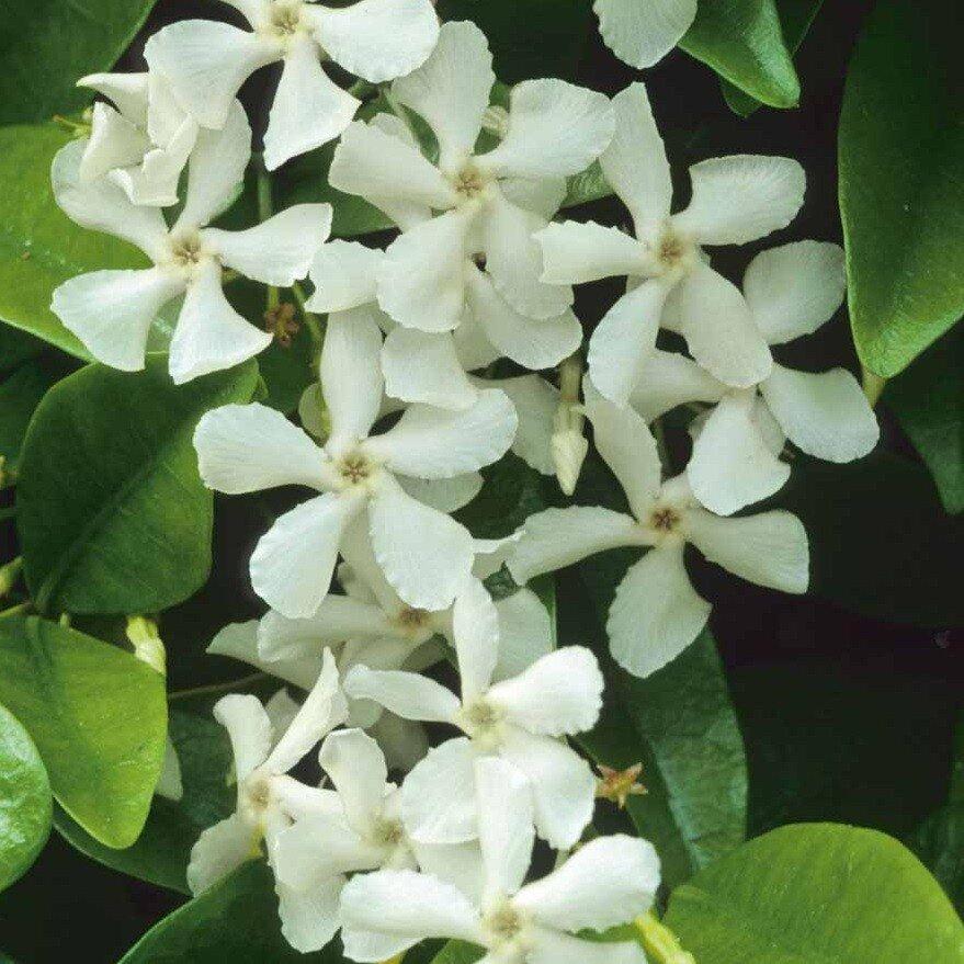 Trachelospermum jasminoides (Sterjasmijn)