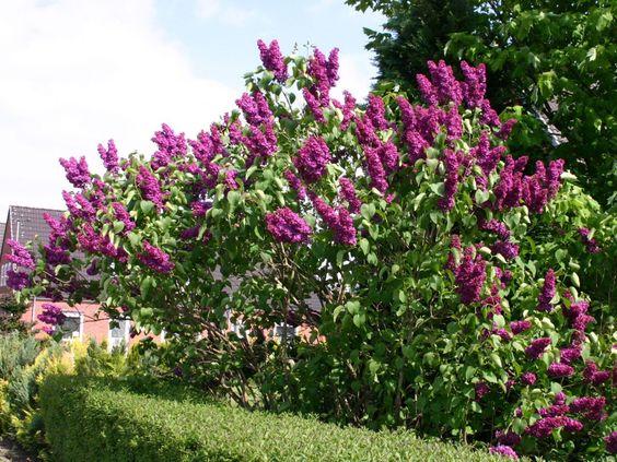 Syringa vulgaris 'Andenken an Ludwig Spath' solitair