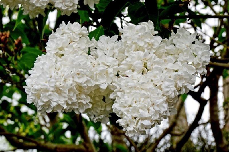 Syringa vulgaris 'Mme Lemoine' bloemen