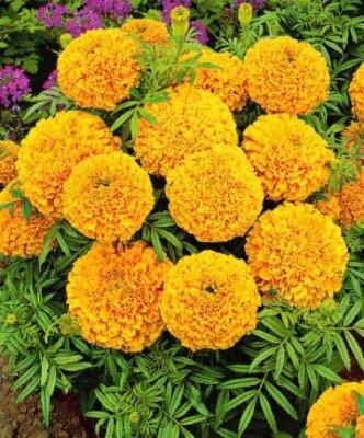 Tagetes patula nana Petite Orange