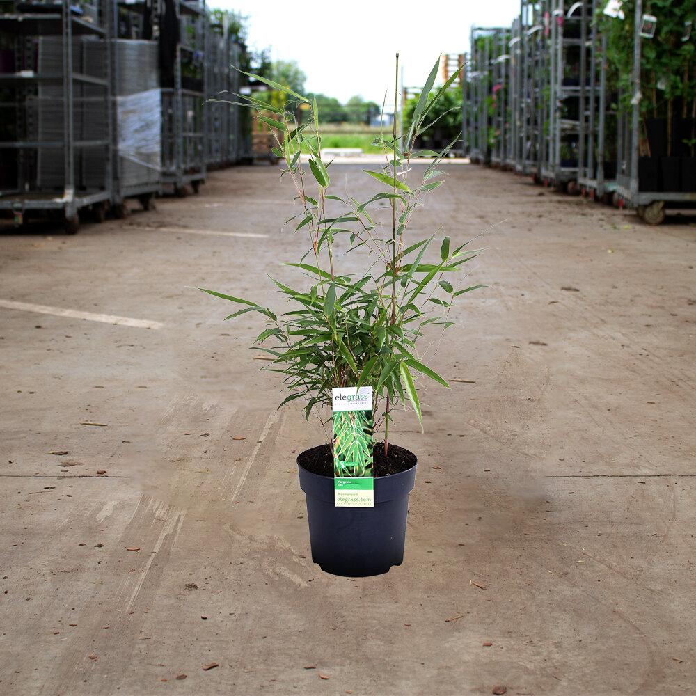 2x Fargesia rufa 20 - 30 cm in pot