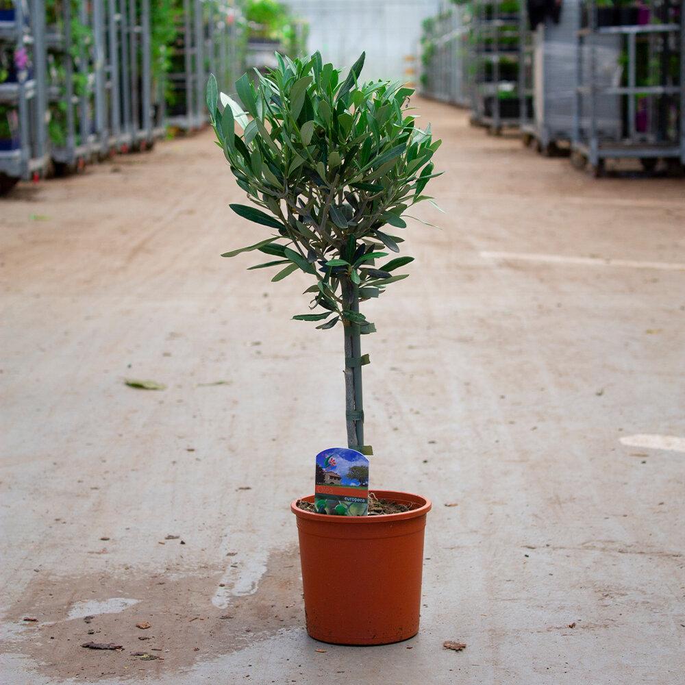1x Olijfboom op stam 20 - 40 cm