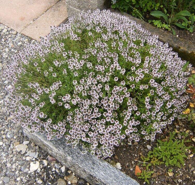 Thymus vulgaris (tijm)