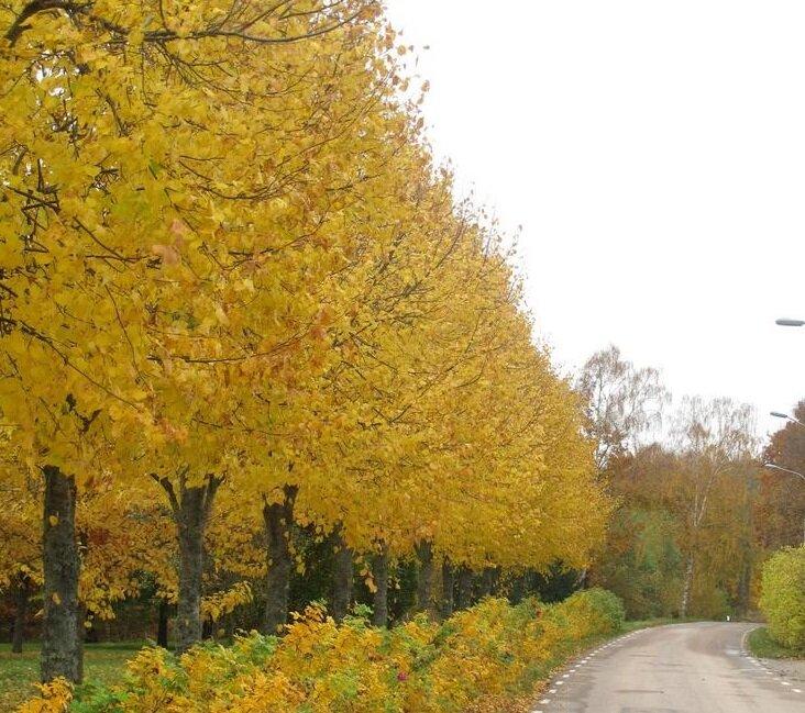 Tilia europaea 'Pallida' blad herfst