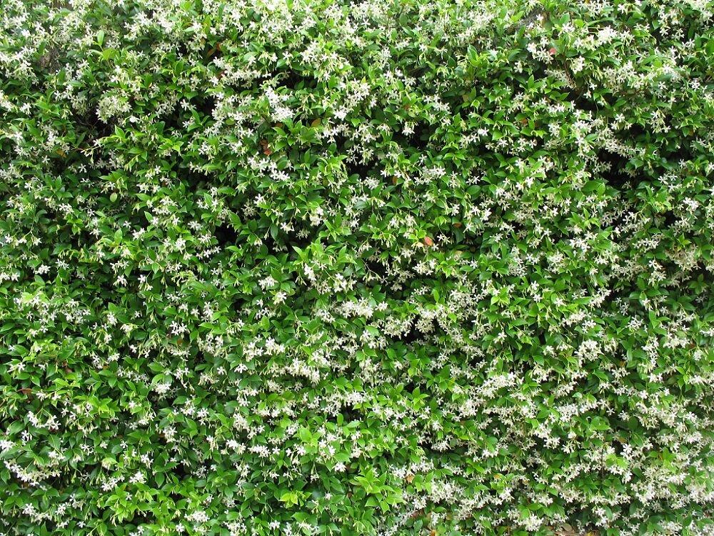 Trachelospermum Jasminoides Sterjasmijn Kopen