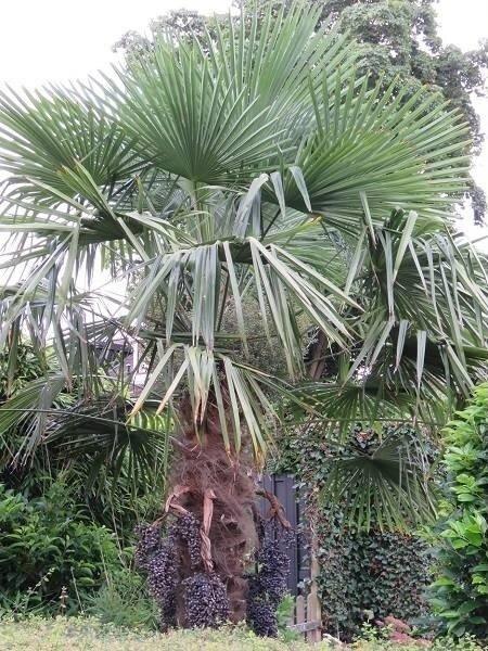 Trachycarpus 'Fortunei' label achterkant