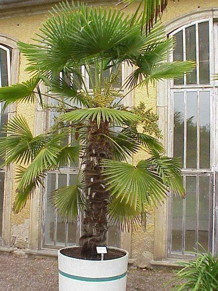 Trachycarpus 'Fortunei' groot