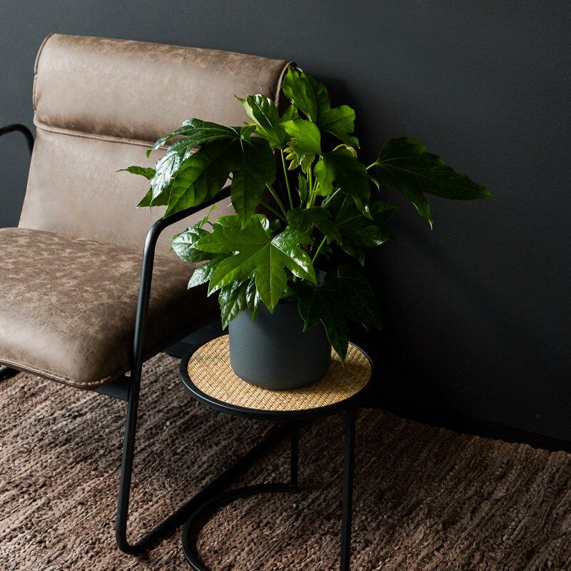 Fatsia japonica als kamerplant