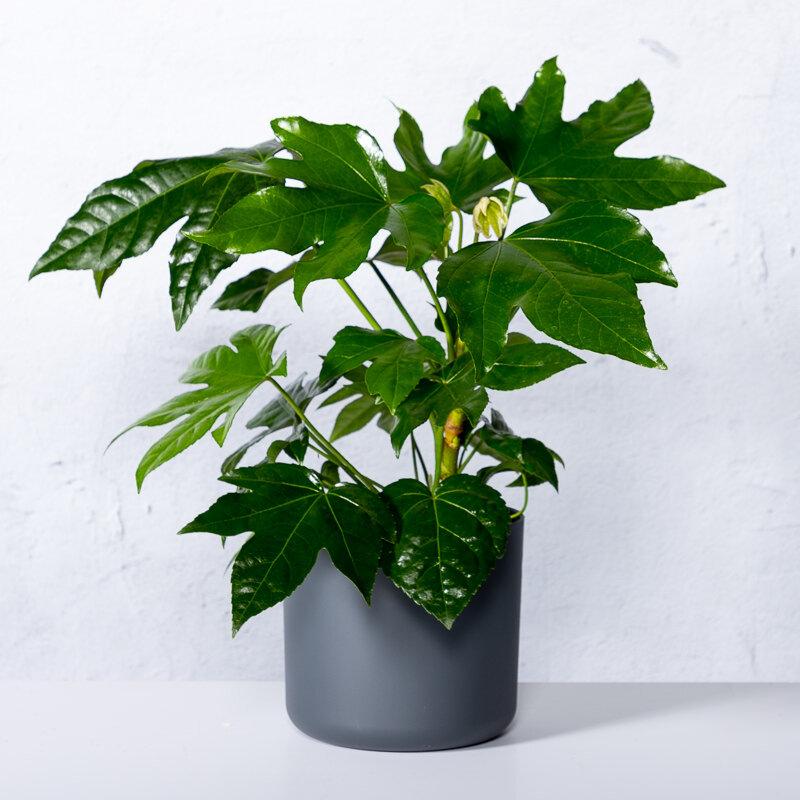 Fatsia japonica bloemen