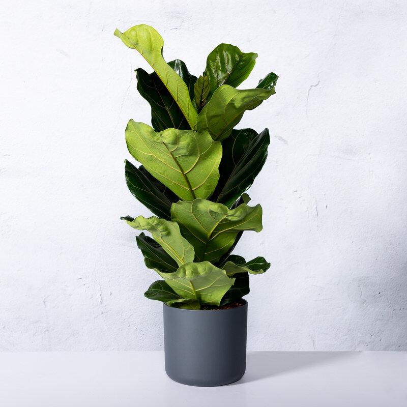 2 Ficussen lyrata (vioolplant) in de woonkamer