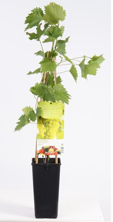 Vitis vinifera 'Bianca'