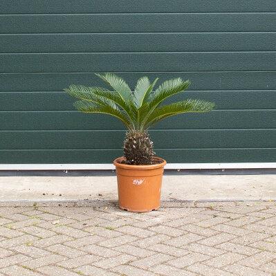 Vredespalm (Cycas revoluta)