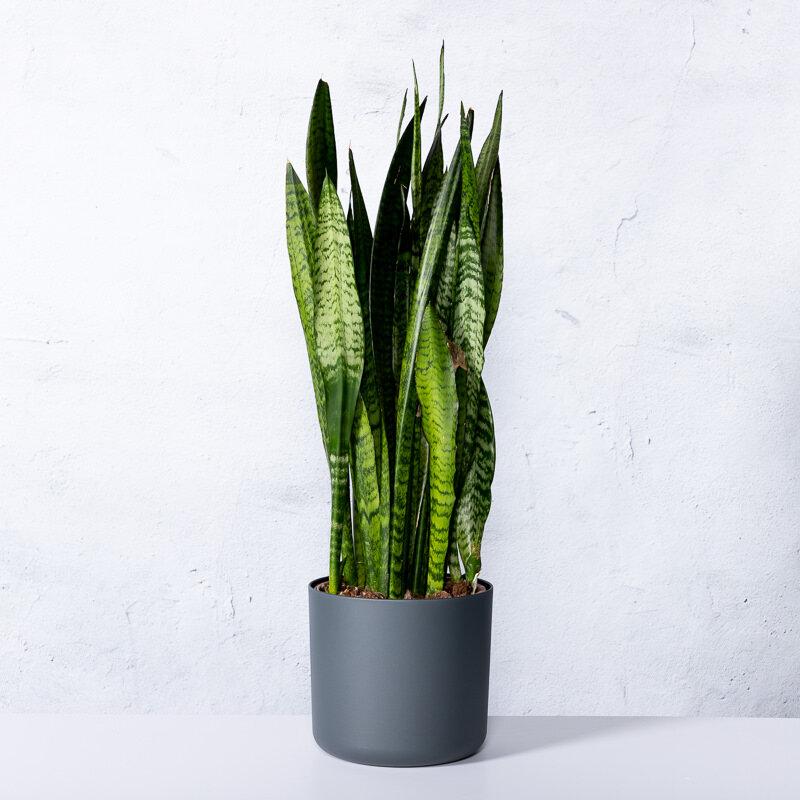 Sanseveria 'Zeylanica' in witte pot