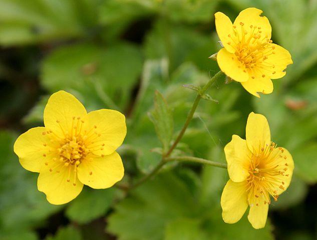 Waldsteinia Ternata bloem