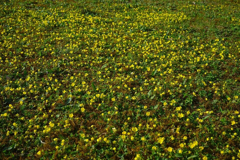Waldsteinia Ternata bodembedekkend