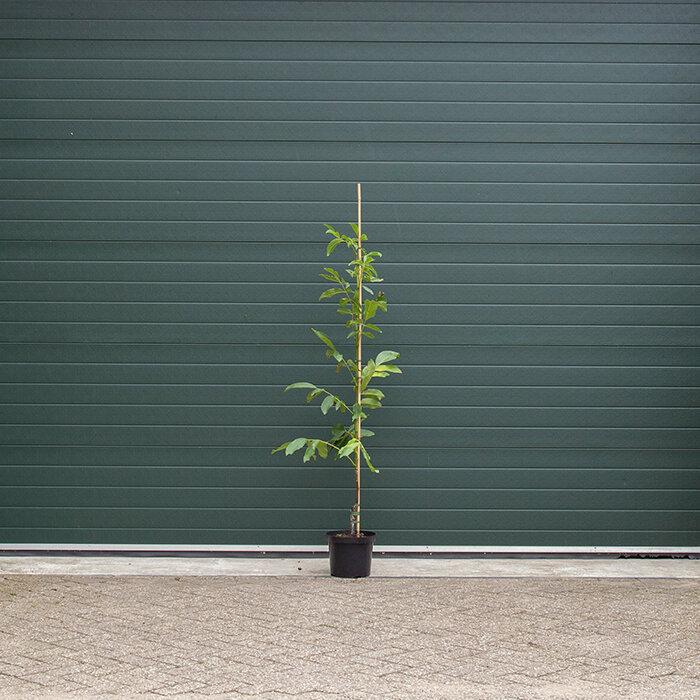 1 - 3 cm stamomtrek - 160 tot 180 centimeter totaalhoogte