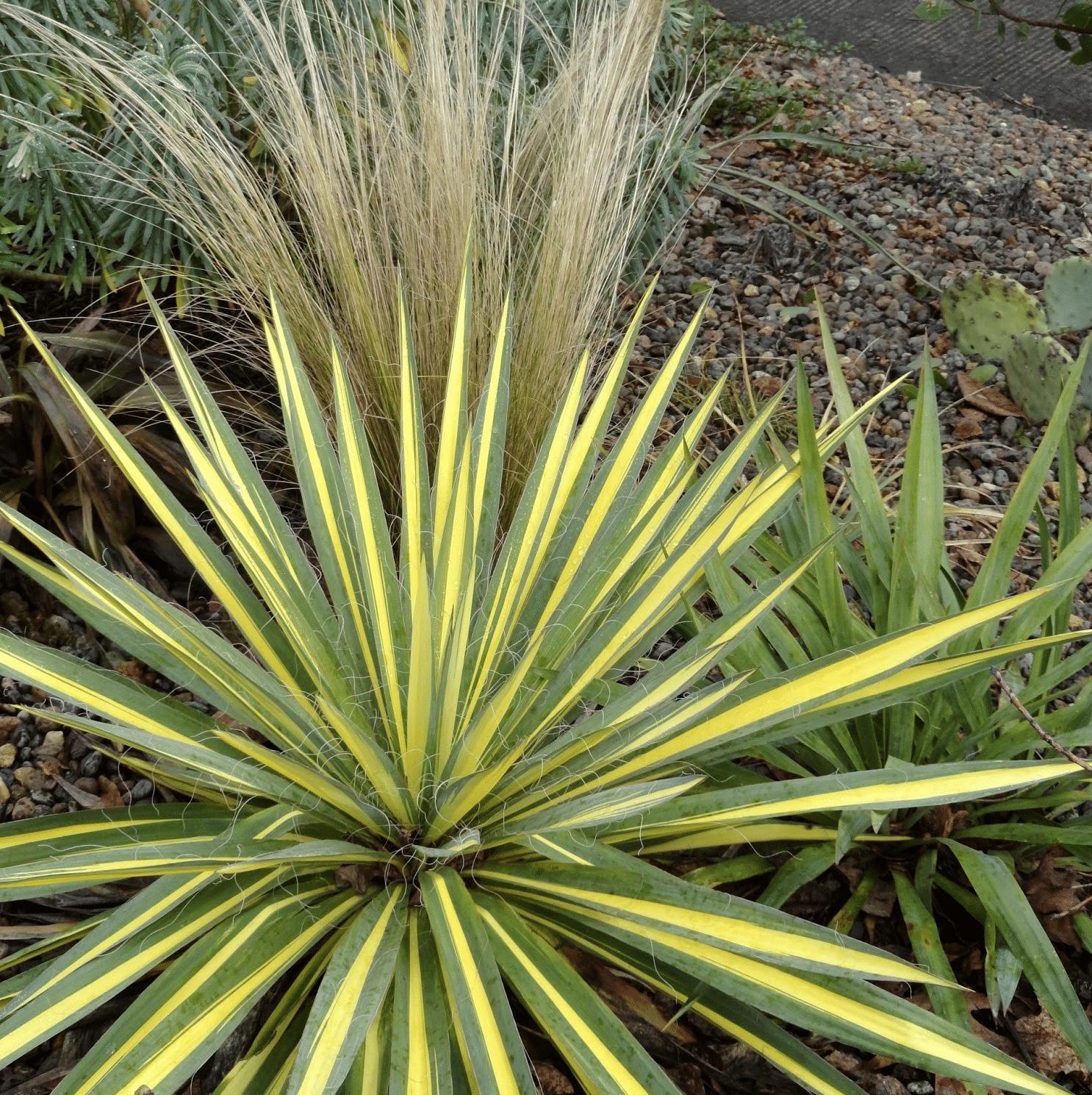 Yucca filamentosa Color Guard