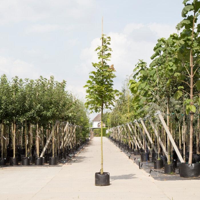 Zuil esdoorn (Acer platanoides 'Columnare')